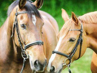 Dressage d'un cheval en longues rênes
