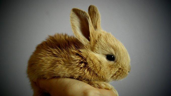 La reproduction chez le lapin