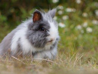 mode de vie du lapin