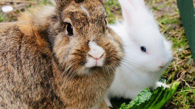 Soins et maladies du lapin de compagnie